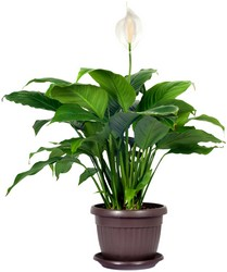 Spathiphyllum from Scott's Flowers on the Square in Stephenville, TX