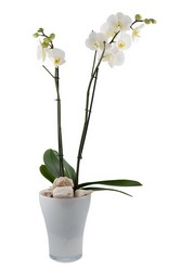 Phalaenopsis  Orchid from Scott's Flowers on the Square in Stephenville, TX