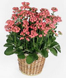 Kalanchoe from Scott's Flowers on the Square in Stephenville, TX